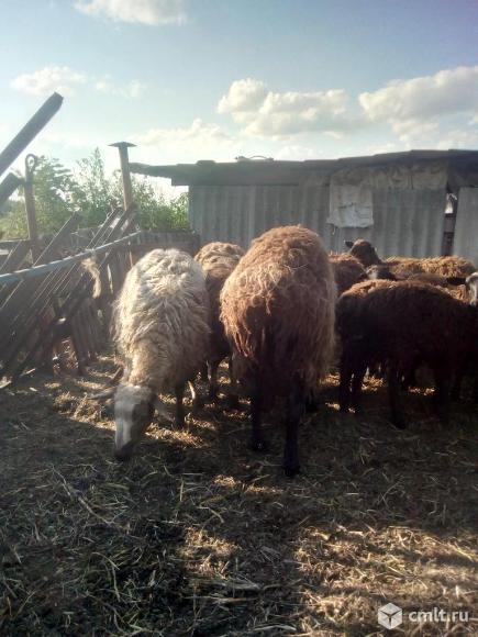 Овцы. Фото 2.