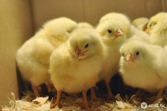 Продаю цыплят. Фото 1.