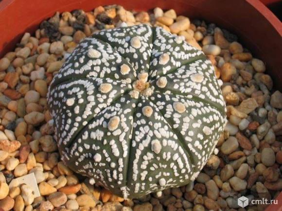 Astrophytum разные виды, грунт для суккулентов. Фото 1.