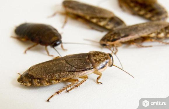 Мраморный таракан. Фото 1.