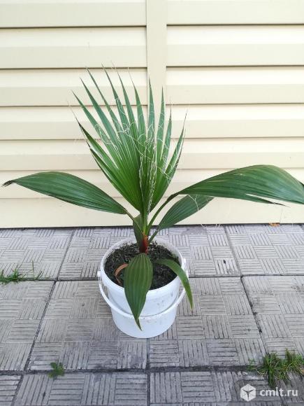 Продам пальму. Фото 1.