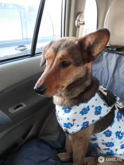 Таксообразная стерилизованная собачка в дар. Фото 4.