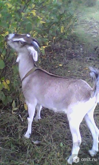 Коза. Фото 1.