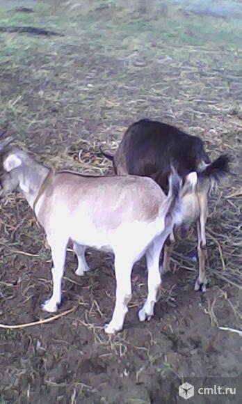 Коза. Фото 3.