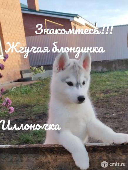 Предлагаются к продаже щенки сибирской хаски. Фото 4.