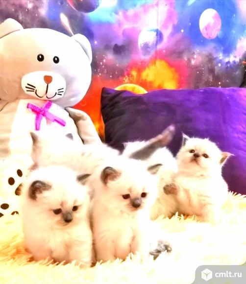 Невские маскарадные котята. Фото 1.