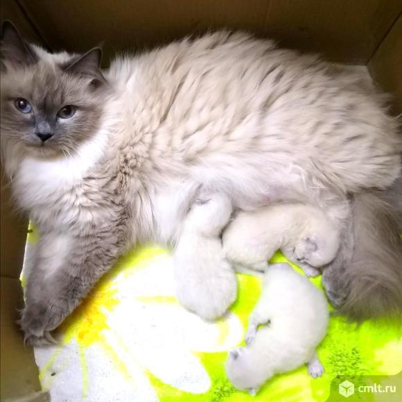 Невские маскарадные котята. Фото 8.