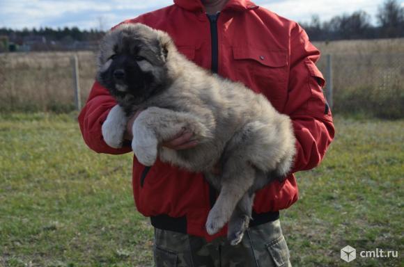 Щенки Кавказской овчарки. Фото 6.