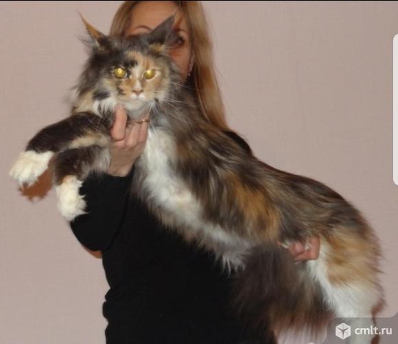 Мейн-кун котята малышы. Фото 1.
