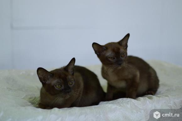 Продаются котята Европейской Бурмы. Фото 1.