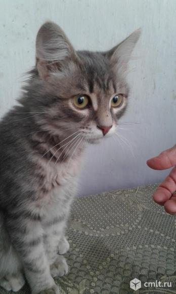 Британских котят, 2.5 мес., мальчики и девочки. Фото 7.