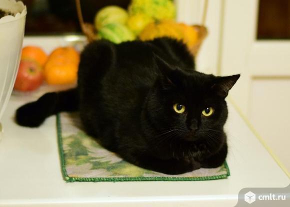 Черный кот с умными глазами. Фото 1.