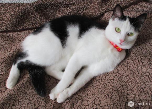 Белая кошечка с черными ушками и спинкой. Фото 1.