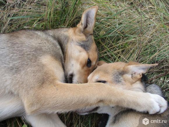 Братик и сестрица щенки 5 мес. в добрые руки метисы с лайкой. Фото 8.