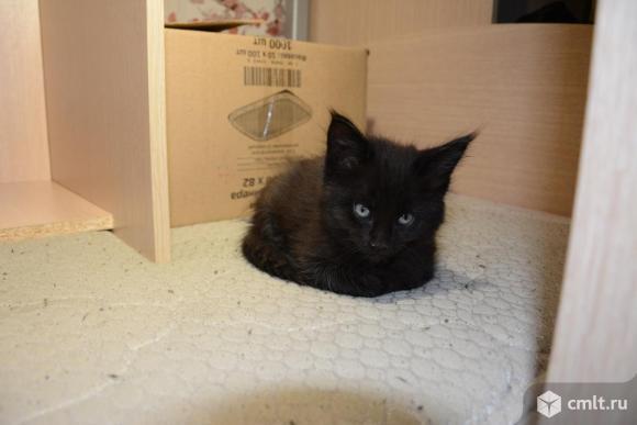 Чистокровные котята мэй нкун. Фото 5.