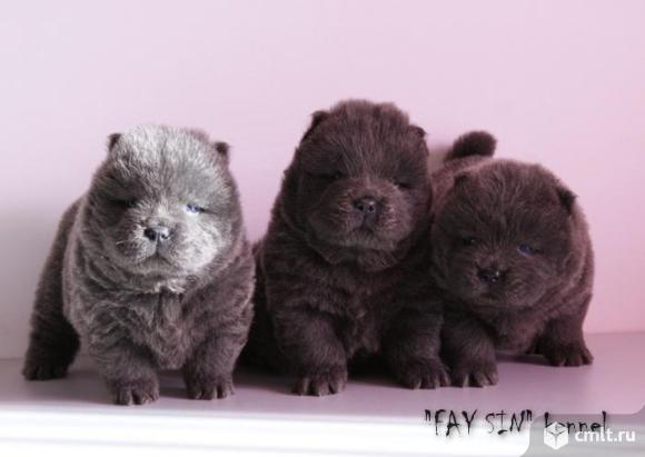 Чау-чау щенки. Фото 2.