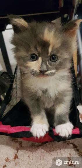 Мейн-кун котята малышы. Фото 10.