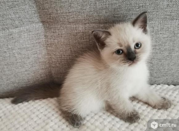 Шотландский котенок. Фото 1.