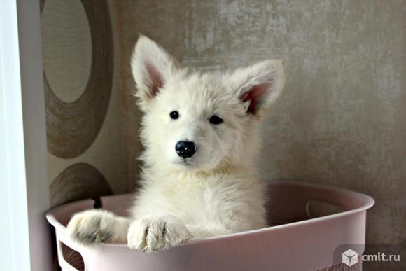Щенок белой овчарки БШО. Фото 9.