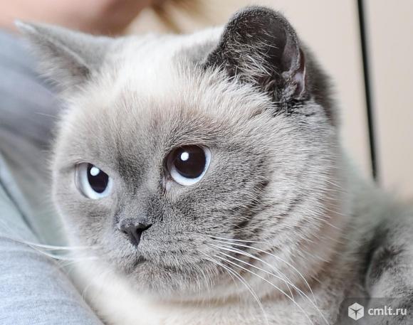 Котята британцы. Фото 8.