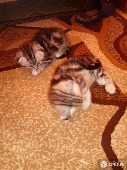 Котята британские. Фото 1.