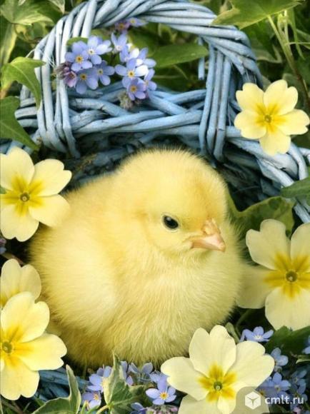 Цыплята бройлера. Фото 1.