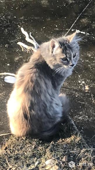 Кошечка мейн кун 4 месяца. Фото 1.