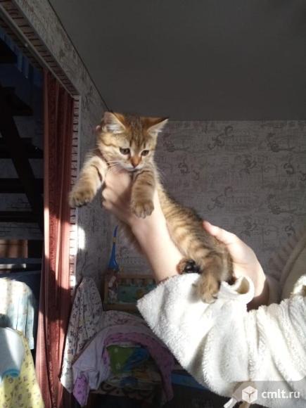 Умный, игривый, красивый котик, рождённый 18 сентября, кушает всё, к лотку приучен!!?. Фото 1.