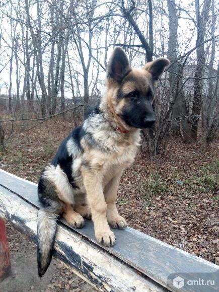 Продаю щенка немецкой овчарки. Фото 1.