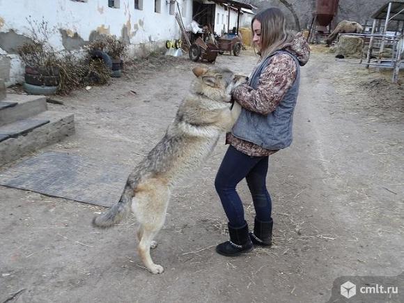 Волк. Фото 1.