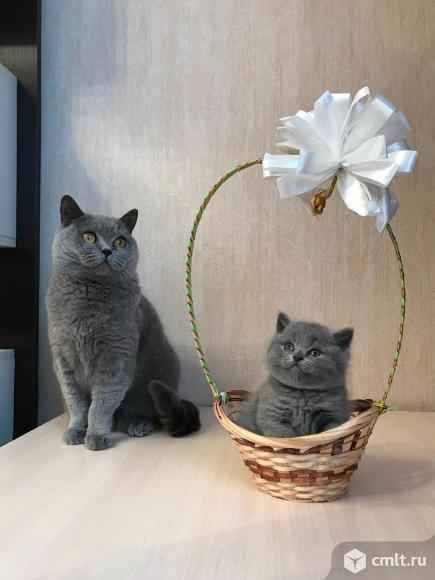Продаются британские котята. Фото 1.