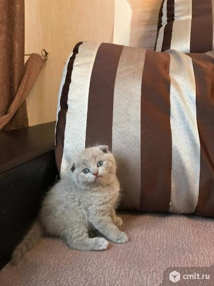 Продаются британские котята. Фото 6.