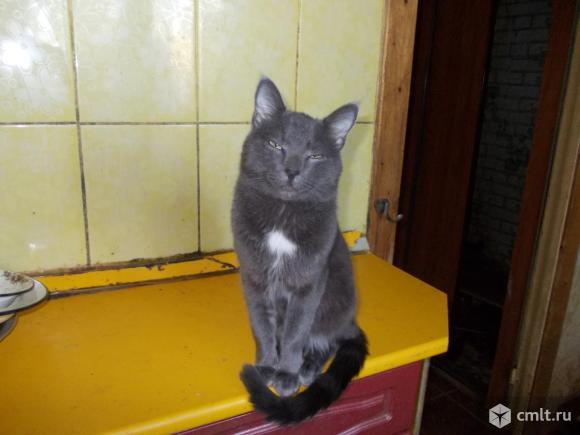 Подрощенный породистый котенок в дар. Фото 1.