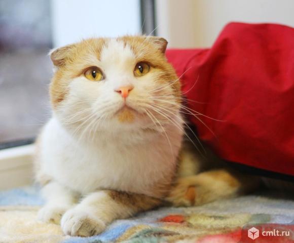 Вислоухий молодой котик Василий. Фото 6.