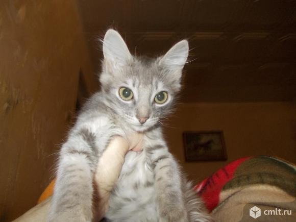 Кошки и котята породы русская голубая. Фото 1.