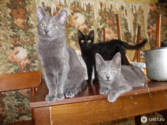 Кошки и котята породы русская голубая. Фото 2.