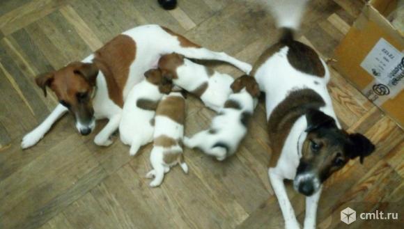 Фокстерьера гладкошерст. щенки, рождены 20.10.2019. Фото 1.