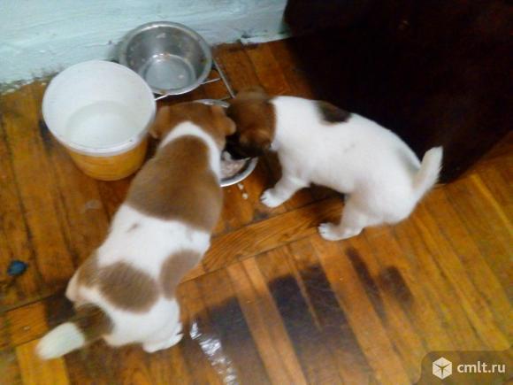 Фокстерьера гладкошерст. щенки, рождены 20.10.2019. Фото 8.