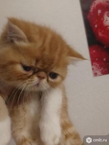 Экзотический котенок. Фото 1.