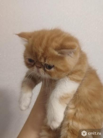 Экзотический котенок. Фото 5.