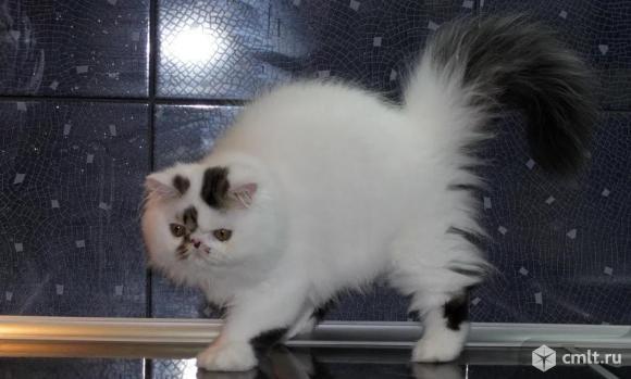 Персидский кот экзот вязка. Фото 1.