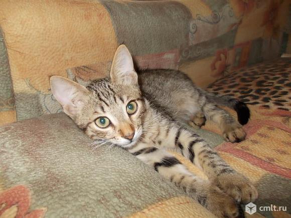 Котенок крысолов поместный. Фото 2.