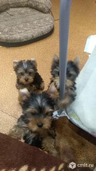 Шикарные щенки от красивой пары. Фото 3.