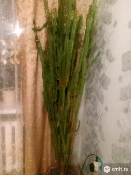 Продам кактус. Фото 1.
