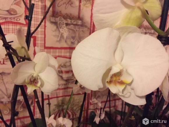 Крупноцветковые орхидеи фаленопсис  12 см цветок сортовые. Фото 1.