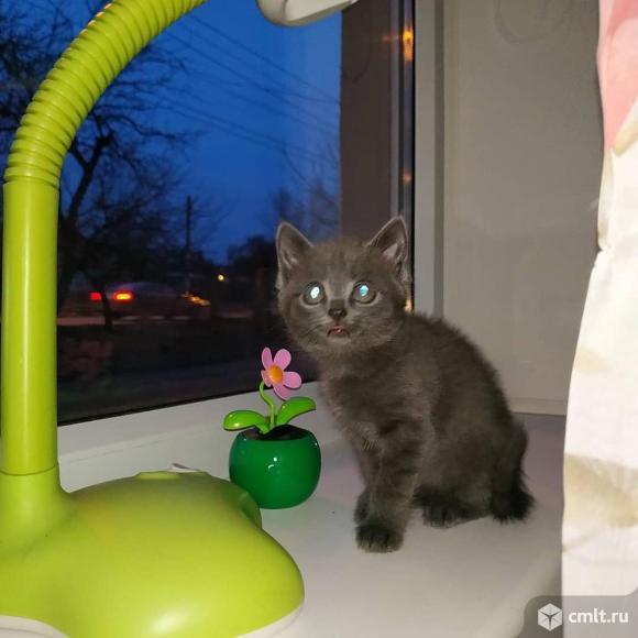 Котёнок помесный (британец). Фото 1.