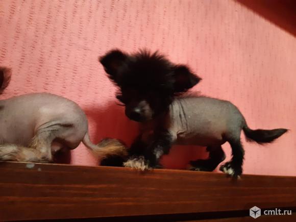 Мини и микро щеночки КХС. Фото 11.