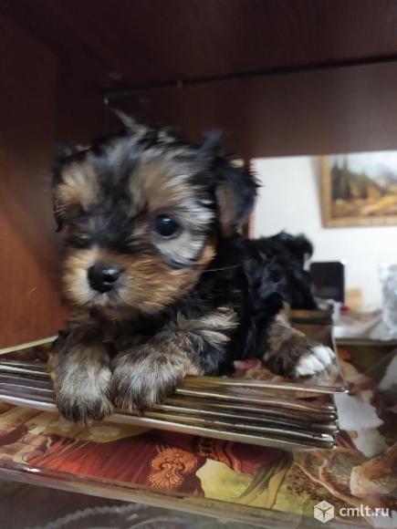 Продам щенков йоркширский терьер. Фото 1.