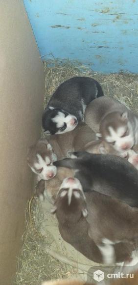 Продаются чистокровные щенки Хаски. Фото 11.