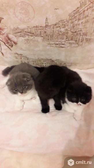 Шотландские котята. Фото 1.
